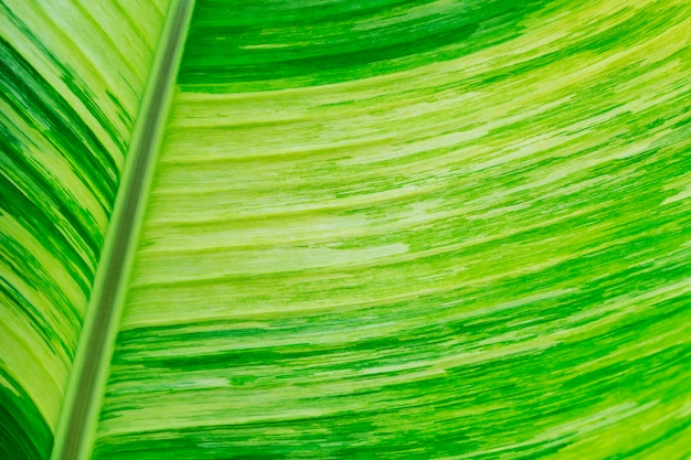 Closeup of green banana leaf texture for abstract background.
