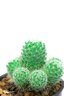 Closeup green cactus isolated on white background detail nature