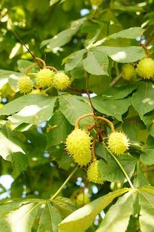 Primo piano di castagne verdi su un albero con foglie verdi