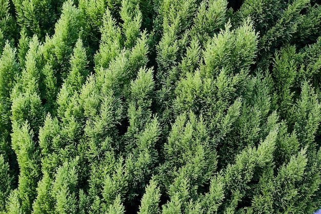 Closeup of green christmas leaves of thuja trees on green horizontal