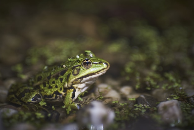 Closeup of a green frog sitting on moss covered pebbles