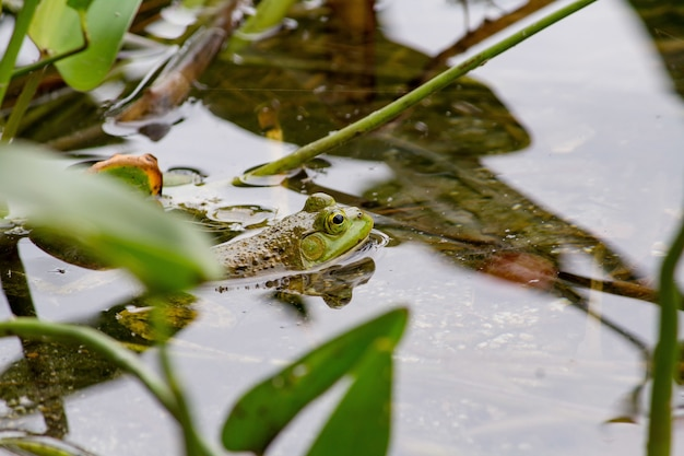 Closeup of a green frog swimming in the water near plants