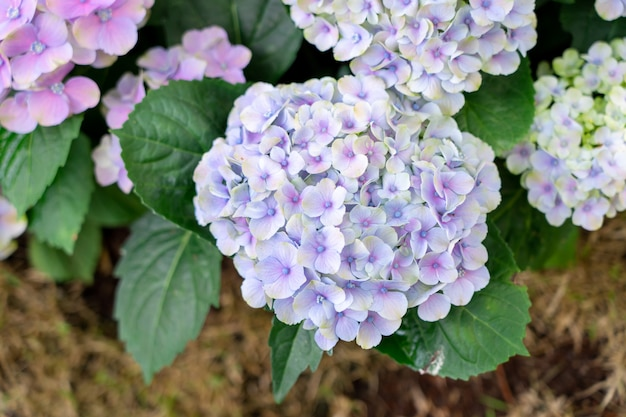 Closeup of green hydrangea (hydrangea macrophylla) are blooming in spring and summer