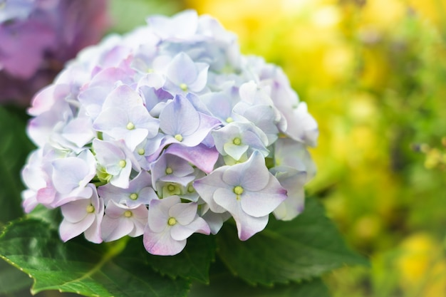 Closeup of green hydrangea (hydrangea macrophylla) are blooming in spring