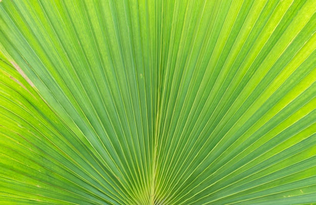 Closeup at green leaf of green palm tree background