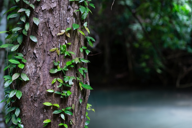 Closeup green leaf vine on tree in the tropical forest
