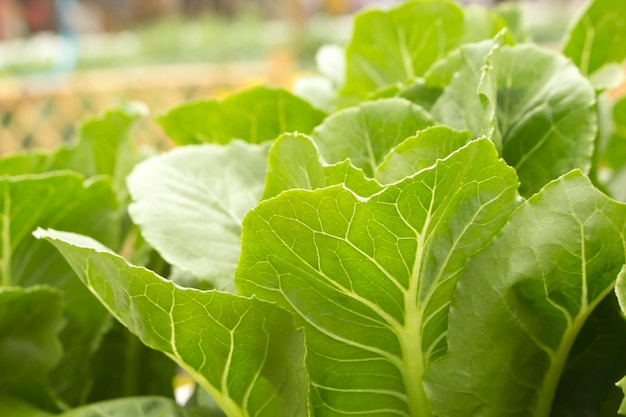 Closeup of green leafy vegetables in the garden.