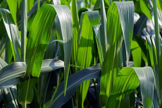 Closeup of green leaves of corn in the plantation