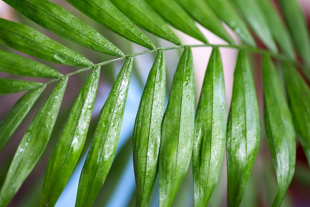 Closeup of green leaves of palm tree.