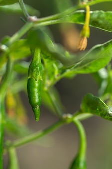 Closeup of green organic chili pepper on young plant at farm field, harvest concept.