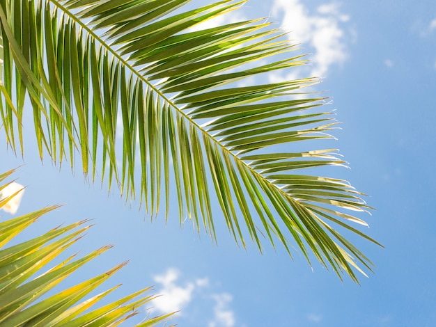 Closeup on green palm leaves border isolated on sky background