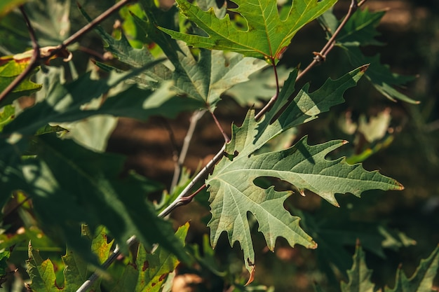 Closeup of green plane tree leaves on tree branches with sunlight. platanus orientalis, old world sycamore, oriental plane, large deciduous tree with globose head.
