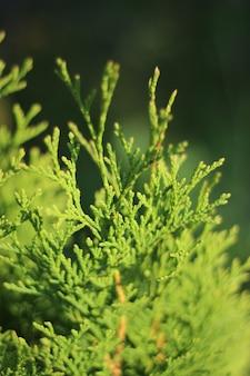 Closeup of green sunlit twigs of arborvitae western