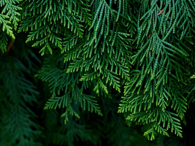 Closeup of green thuja leaves.