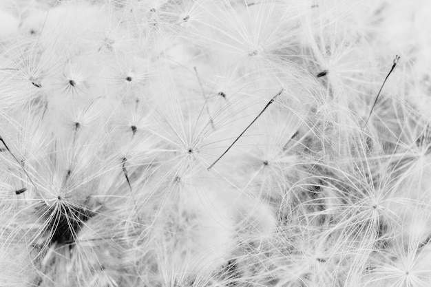 Closeup greyscale of dandelions background
