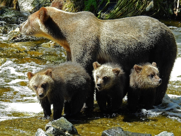 Closeup of grizzly cubs and bear in the bear's knight inlet in canada during daylight