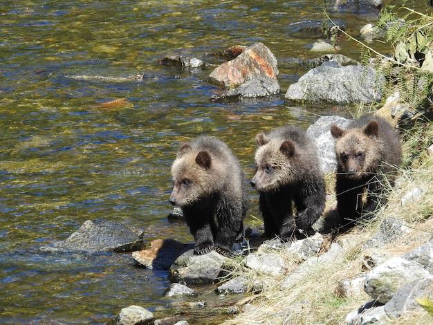 Primo piano di cuccioli di grizzly nell'ingresso del cavaliere dell'orso in canada durante la luce del giorno