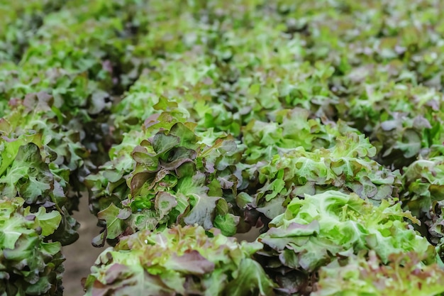 Closeup group of fresh hydroponic vegetable in  vegetable farm textured background