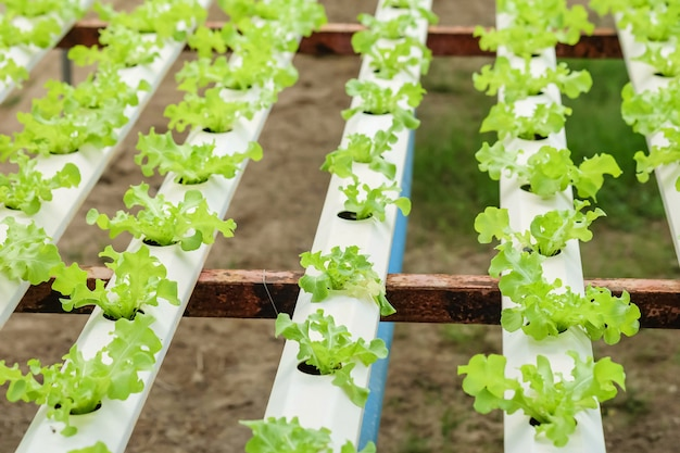 Closeup group of sapling of hydroponic vegetable in  vegetable farm textured background