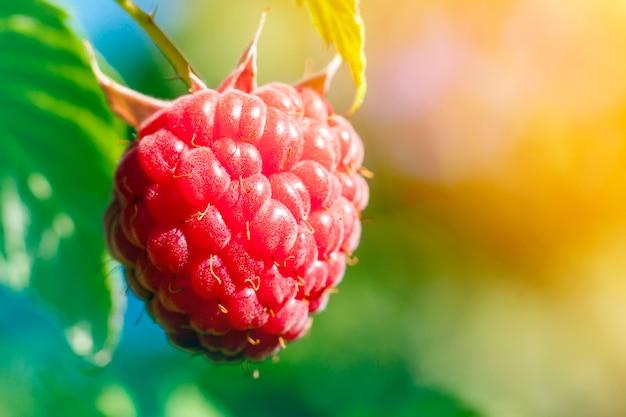 Closeup of growing organic raspberries. ripe raspberry in  fruit garden. selective focus. soft yellow light effect