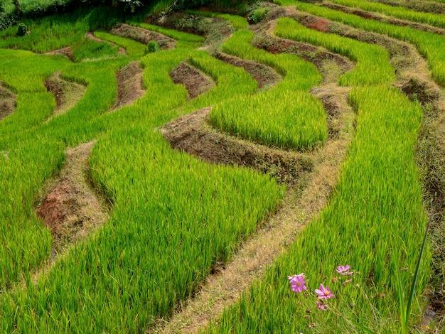 장마철인 9월, 태국 치앙마이의 파봉피앙(pa bongpiang) 마을의 산 사다리 경사면에 있는 젊고 신선한 녹색 쌀 테라스를 닫습니다.