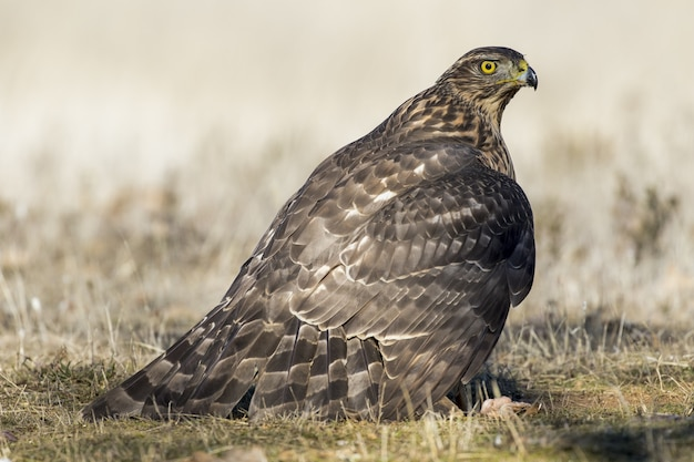 Closeup of a hawk on the ground ready to fly under the sunlight on a blurred background