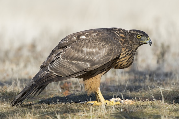 Closeup of a hawk on the ground ready to fly under the sunlight