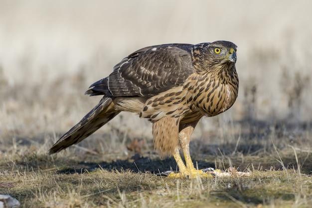 Primo piano di un falco a terra pronto a volare sotto la luce del sole