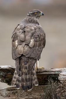 Primo piano di un falco in piedi sul legno sotto la luce del sole con uno sfondo sfocato