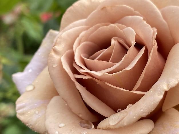 Primo piano della testa di una bella rosa rosa