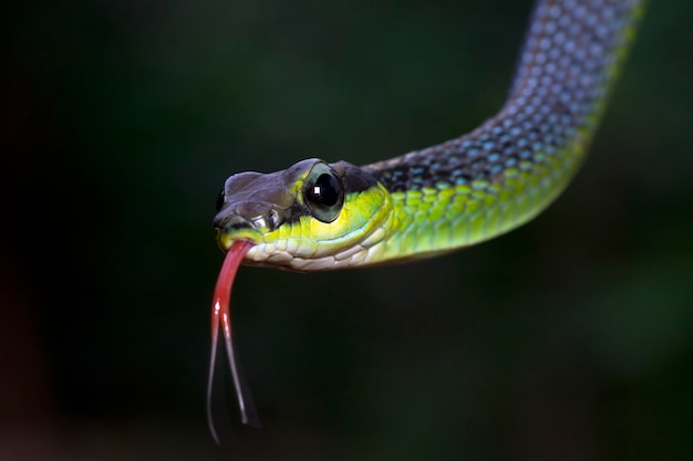 근접 촬영 머리 dendrelaphis formosus 뱀 dendrelaphis formosus 뱀 cloesup