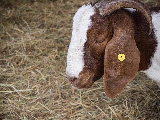 Closeup head goat