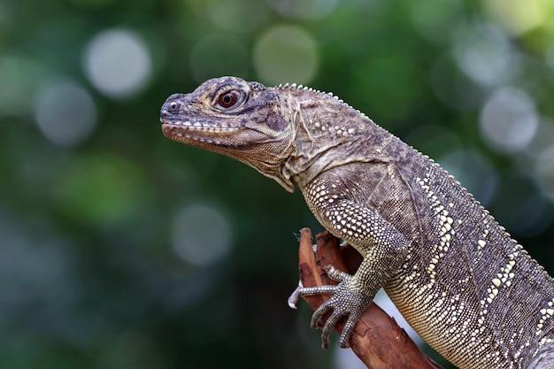 Closeup head of hydrosaurus weberi hydrosaurus weberi lizard closeup