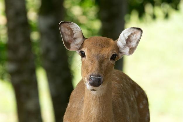 Крупный план голова белохвостого оленя