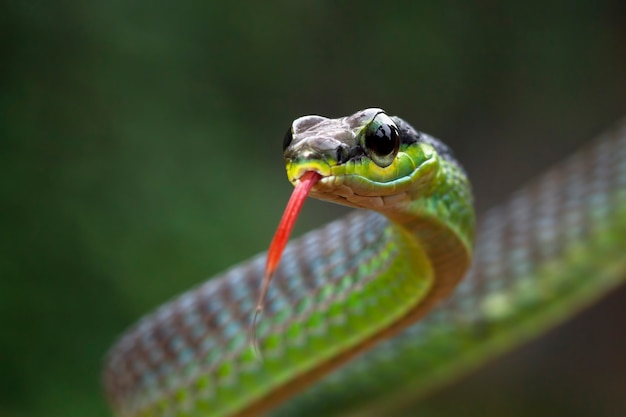 Dendrelaphis formosus 뱀의 근접 촬영 머리