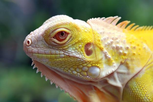 黄色のアルビノイグアナのクローズアップのクローズアップヘッド