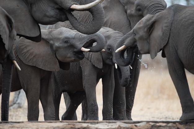 Closeup of a herd of elephants drinking water in a field