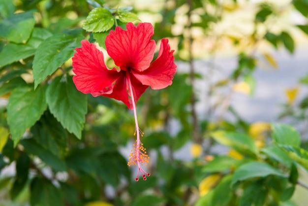 Цветок гибискуса крупным планом