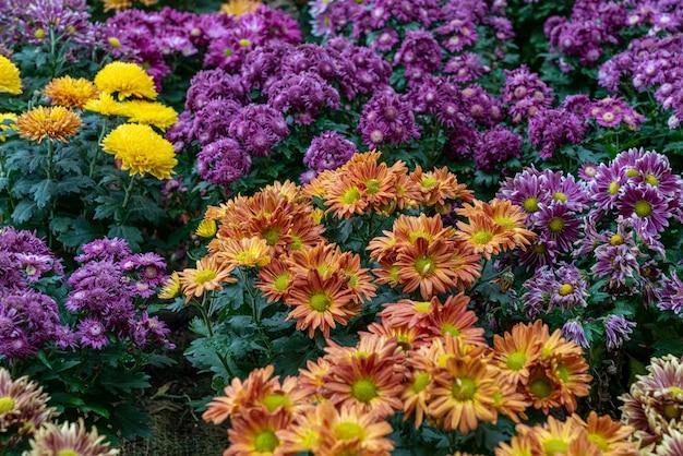 Colpo di alto angolo del primo piano dei fiori viola e gialli arancioni con foglie verdi