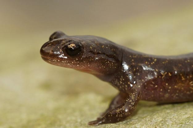 Primo piano di una salamandra di hokkaido che striscia per terra con una scena sfocata
