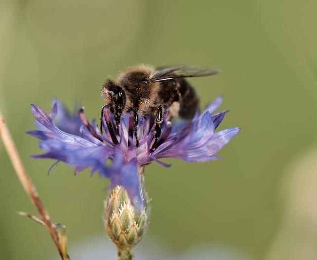 Closeup of a honey bee on a purple flower in a field under the sunlight