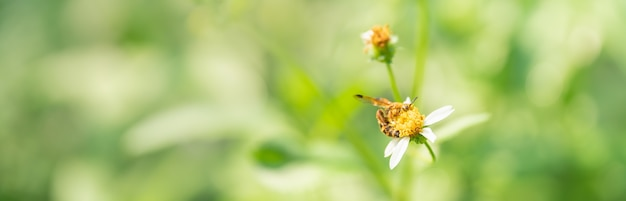 Closeup of honey bee with yellow pollen cover on body on mini white flower and green nature background.
