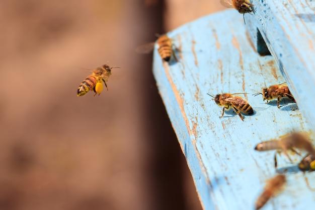 Primo piano delle api da miele che volano su una superficie di legno verniciata blu sotto la luce del sole durante il giorno