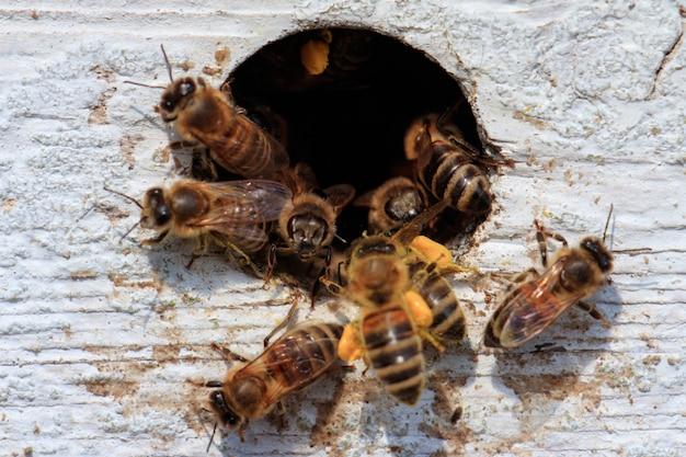 Primo piano delle api da miele che volano fuori da un buco in una superficie di legno sotto la luce del sole durante il giorno