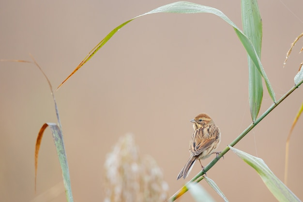 Closeup of a house sparrow perched on  grass against a blurry background