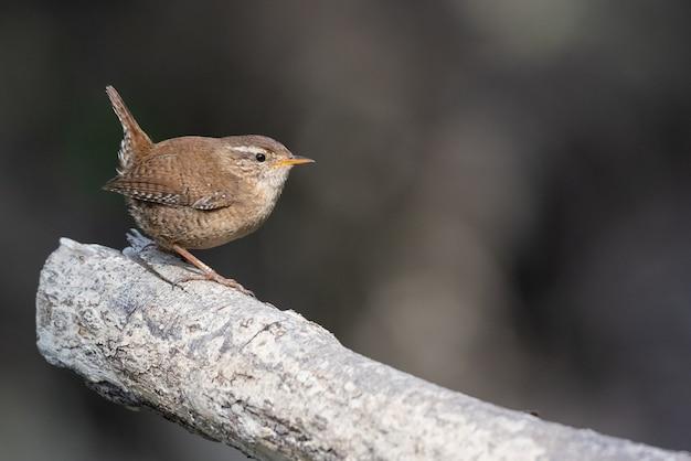 Primo piano di un passero di scricciolo appollaiato su un tronco di legno