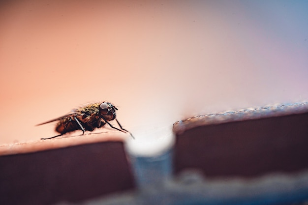Closeup of housefly resting on a surface