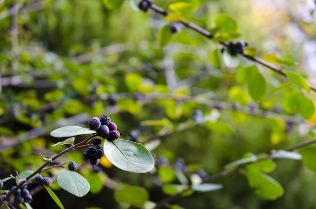 Closeup of huckleberries on tree branches surrounded by greenery under sunlight