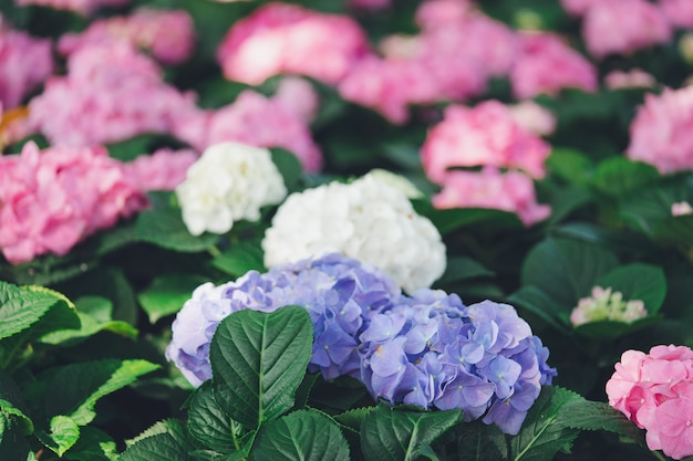 Closeup of hydrangea (hydrangea macrophylla) are blooming in spring and summer
