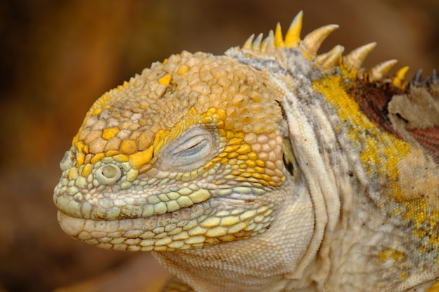Closeup of a iguanas head with closed eyes and blurred background
